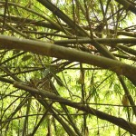 Mondulkiri - Fouillis de bambous