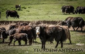 Troupeau de yaks - Région de Sary Tash